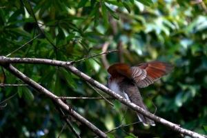 A Bar Shouldered Dove taking flight